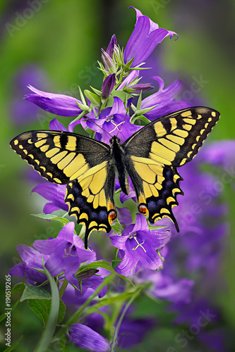 Cuadros en Lienzo Papilio machaon or yellow swallowtail butterfly on a cluster of bellflower or ca