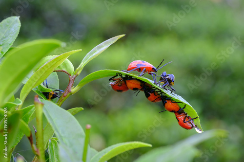 Photo  color of insect on tea leaf