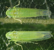 Empoasca Vitis Leafhopper From...