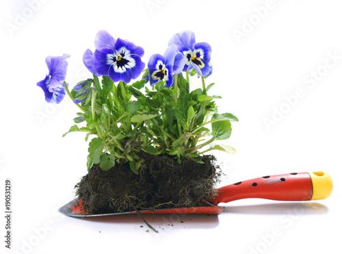 Fotobehang Pansies Plant pansies / viola wittrockiana
