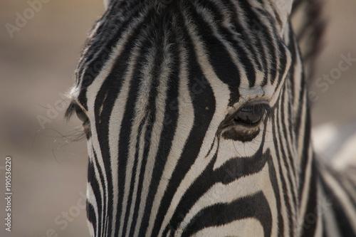 Poster Zebra Zebra Eyes in Etosha