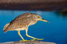 Night Heron On Deep Blue Sky B...