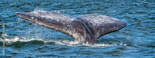 grey whale tail going down in ocean at sunset