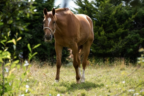 Tuinposter Paardrijden Thorough bred horse looking at camera