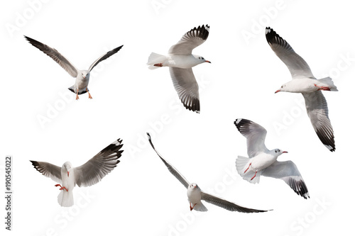 set of seagulls isolated on white background. Slika na platnu