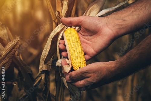 Farmer agronomist holding corn ear on the cob Fototapete