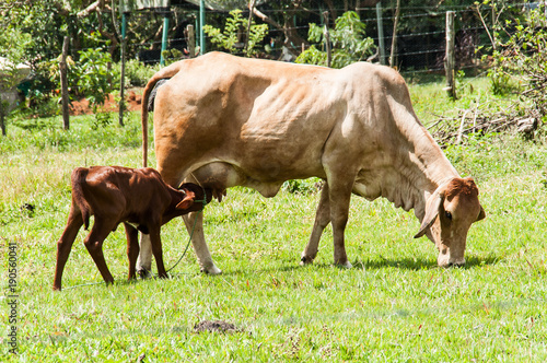 Momma Cow and Calf Poster