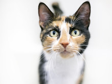 Portrait Of A Shorthaired Calico Cat On A White Background