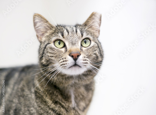 A brown tabby cat that has been eartipped to identify it as spayed or neutered a Poster Mural XXL