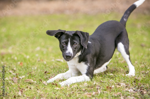 Fotografie, Obraz  A playful black and white mixed breed dog, in a play bow position