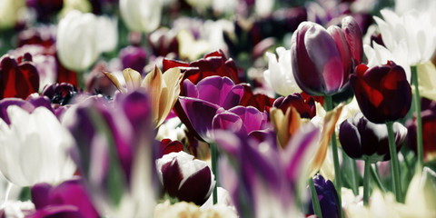Obraz na Szkle tulips deep purple white concept