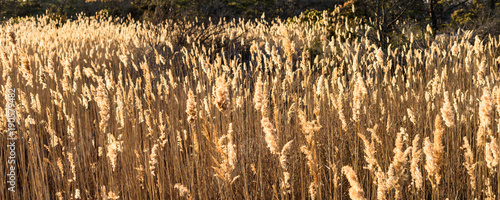 Reeds Fototapeta