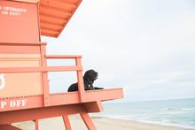 Black Dog On Lifeguard Tower