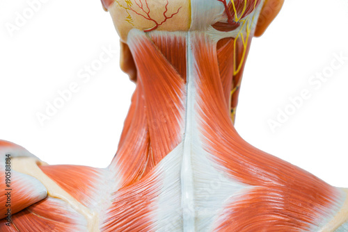 Human Neck Muscle Anatomy Buy This Stock Photo And Explore Similar