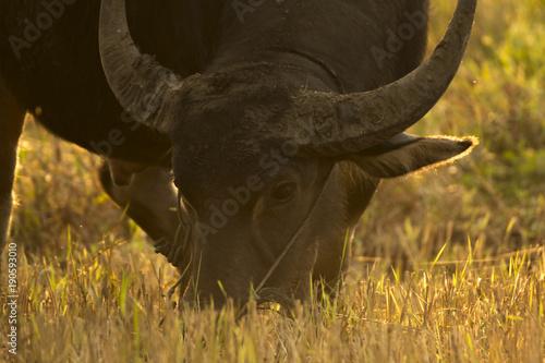 Staande foto Buffel Close up buffalo is eating grass. The evening is golden.