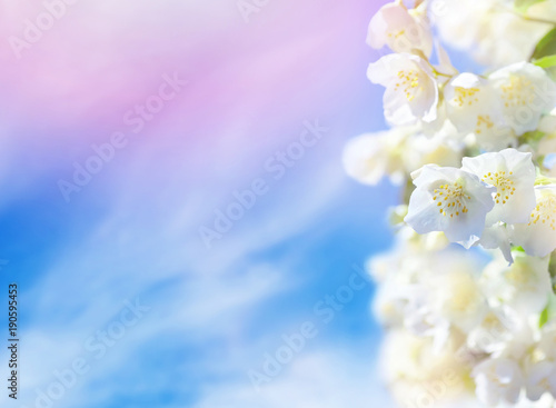 Aluminium Prints Blue sky Natural background. Flowering jasmine flowers against the sky with clouds