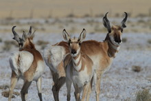 Pronghorn From New Mexico, Wit...