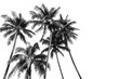Leinwanddruck Bild - Black and white silhouettes tropical coconut palm trees isolated