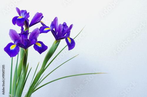 Tuinposter Iris 青紫色の球根アイリス(3輪)