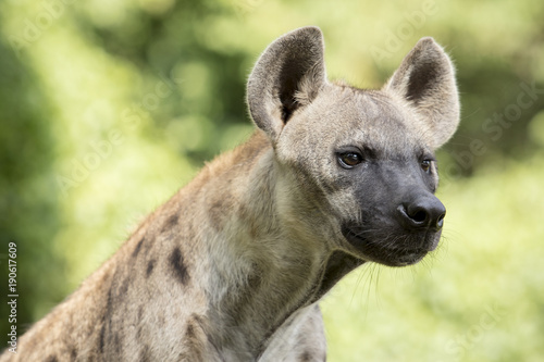 Foto auf Gartenposter Hyane close up face of hyena and eye looking to hunting