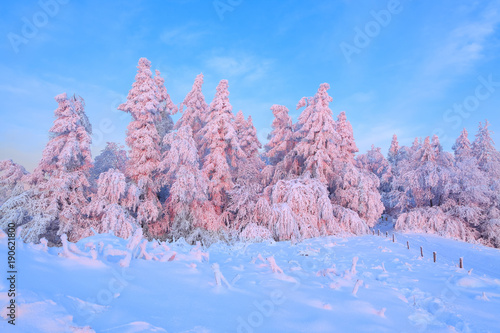Foto op Canvas Purper From the snow covered lawn there is a view to nice trees covered by frost and snow. Light pink sun rays of sunset enlighten sky and trees. Wooden fence and tall spruces.