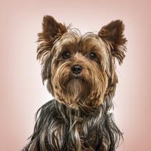Yorkshire Terrier Portrait Against Pink Background