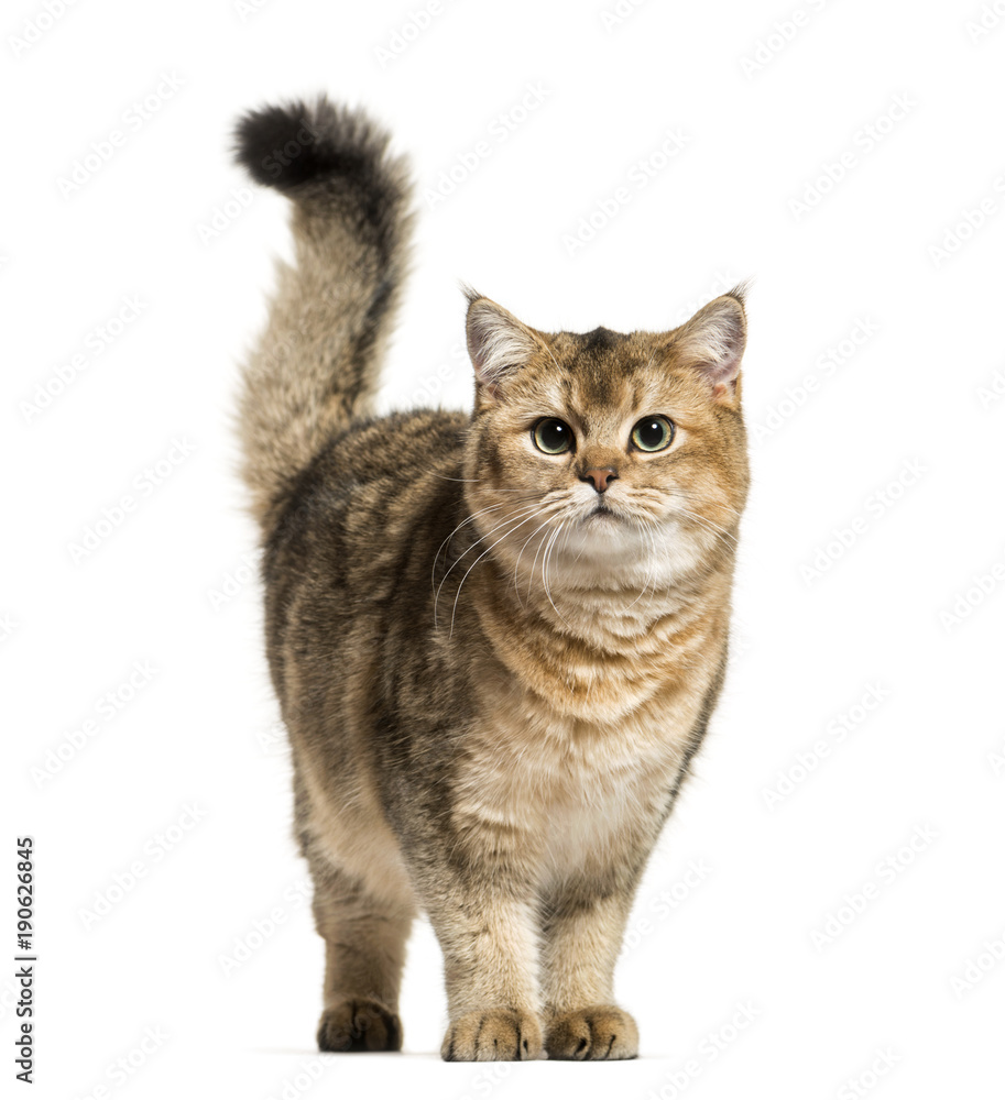 Fototapeta British Shorthair cat against white background