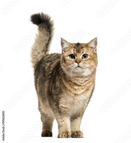 Fototapeta British Shorthair cat against white background obraz