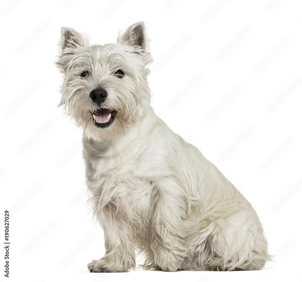 Fototapety, obrazy: West Highland White Terrier sitting against white background