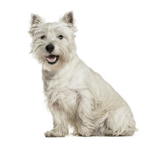 West Highland White Terrier Si...
