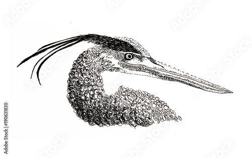 Drawing Of Great Blue Heron In Pen And Ink Buy This Stock