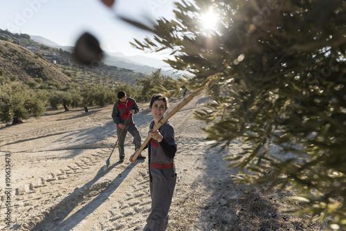 Mujer avarea las olivas para cosechar la aceituna negra de la que se obtiene el Canvas Print