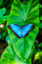 Blue Butterfly - Vertical
