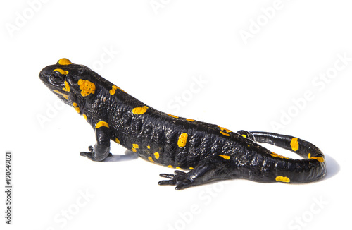 Salamander lizard on white background