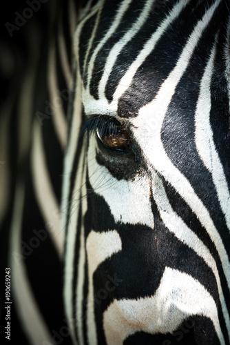 Tuinposter Zebra Frontales Teilportraits eines Zebras