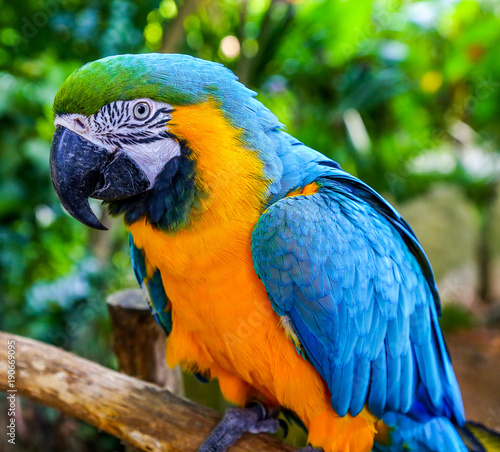 Foto op Aluminium Papegaai Blue-and-yellow macaw. Coloreful Macaw parrot