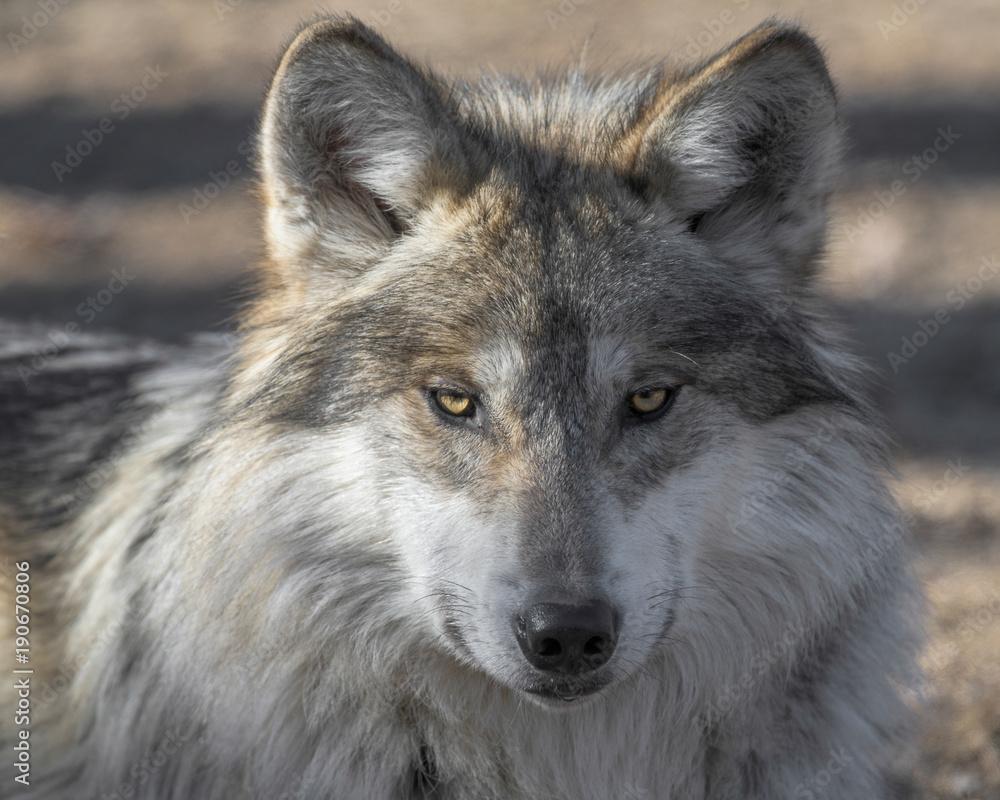 Mexican gray wolf closeup portrait