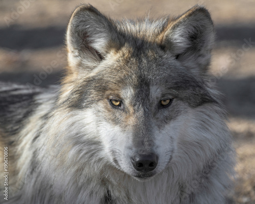 Платно  Mexican gray wolf closeup portrait