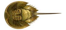 Horseshoe Crab Underside, Whit...