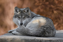 Mexican Gray Wolf Full Body Po...