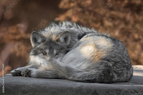 фотография  Mexican gray wolf full body portrait laying on a rock in the woods during autumn
