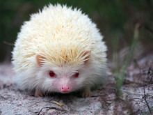 White Hedgehogs Small. Red-eyed Wildlife With Sharp Spines, Cute Hedgehog In The Wild