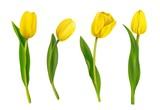 Fototapeta Tulipany - Spring yellow tulips isolated on white background. Vector illustration