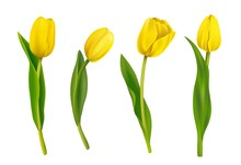 Spring Yellow Tulips Isolated On White Background. Vector Illustration