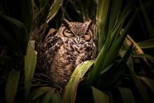 Eurasian Eagle Owl Portrait, R...