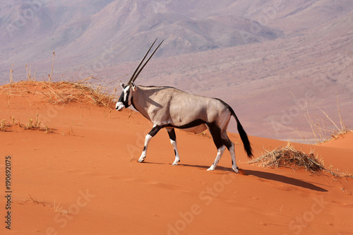 Keuken foto achterwand Antilope Oryx