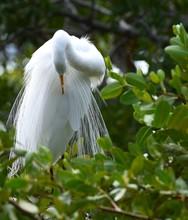 Great Snowy Egret Preening Fea...