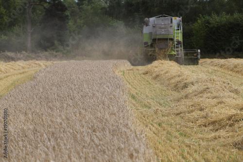 corn harvest Obraz na płótnie