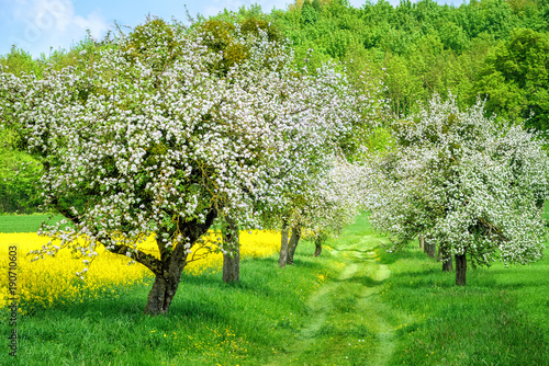 Blooming white apple tree alley and yellow canola field
