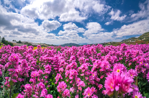 Fototapeta Purple daisy flower field blooming in spring morning with blue cloudy sky background beautifully in the highlands obraz na płótnie